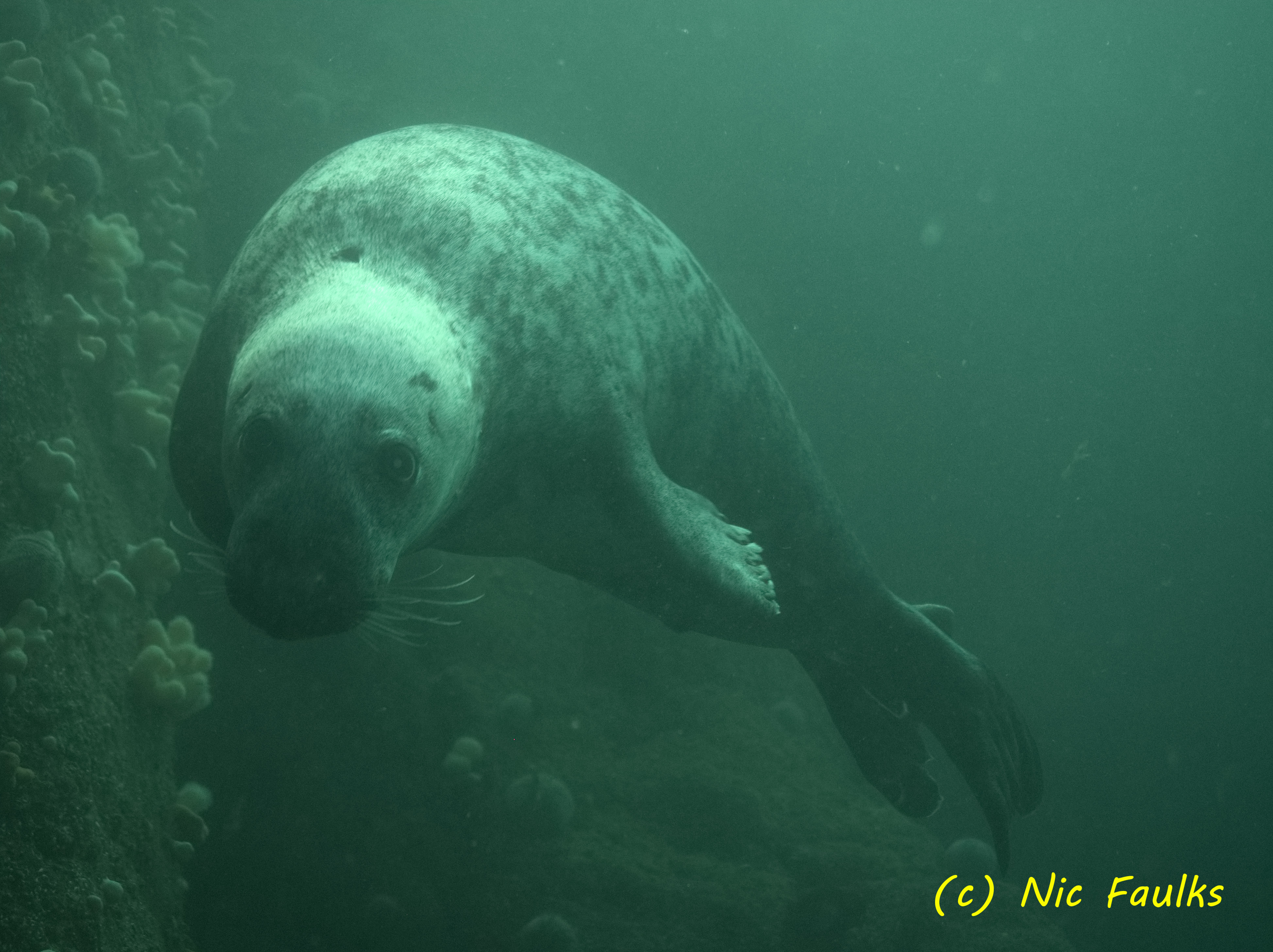 Pest! Another grey seal
