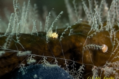 Kelp FIr - Obelia geniculata